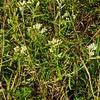 Sweet Everlasting aka Rabbit Tobacco (Pseudognaphalium obtusifolium)