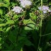 Mistflower aka Ageratum (Conoclinium coelestinum)