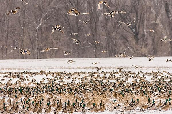 Migrating Mallards
