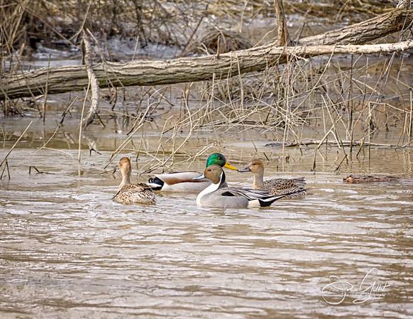 Pintail Ducks and Mallard