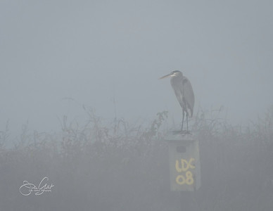 Gret Blue Heron in The Fog