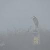 Gret Blue Heron in The Fog