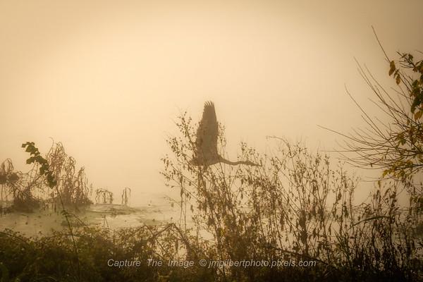 Foggy Flight Of A Heron