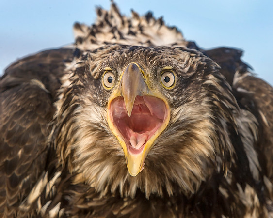 Fierce, bold, proud!  This immature Bald Eagle photograph was captured in Homer, Alaska (3/2008).   This photograph is protected by the U.S. Copyright Laws and shall not to be downloaded or reproduced by any means without the formal written permission of Ken Conger Photography.