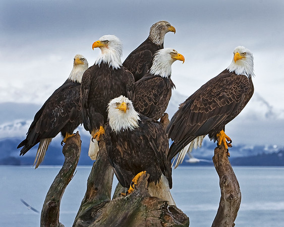"This Bald Eagle group photograph was captured in Homer, Alaska (3/2008).  <FONT COLOR=""GREEN""><h5><strong> Top ten finalist in the <a href=""http://www.worldphotographyawards.org/2009shortlist-am.asp"">2009 Sony World Photography Awards</a> competition in the ""Natural History"" category.</h5></strong></FONT COLOR=""GREEEN""><FONT COLOR=""RED""><h5>This photograph is protected by the U.S. Copyright Laws and shall not to be downloaded or reproduced by any means without the formal written permission of Ken Conger Photography.<FONT COLOR=""RED""></h5>"
