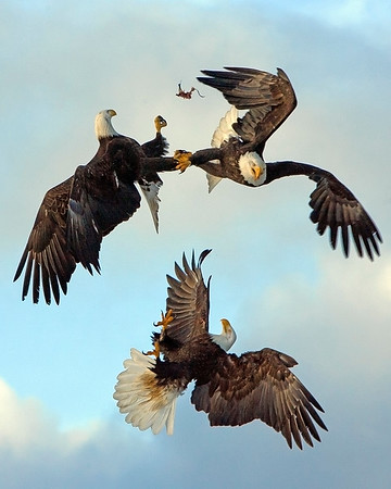 "These battling Bald Eagles were photographed in Homer, Alaska (3/2008).   <FONT COLOR=""RED""><h5>This photograph is protected by the U.S. Copyright Laws and shall not to be downloaded or reproduced by any means without the formal written permission of Ken Conger Photography.<FONT COLOR=""RED""></h5>"