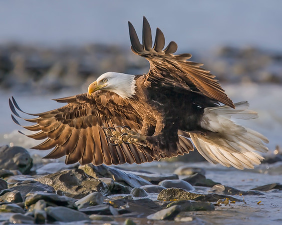 This photograph of a landing Bald Eagle was captured in Valdez, Alaska (7/09).  This photograph is protected by the U.S. Copyright Laws and shall not to be downloaded or reproduced by any means without the formal written permission of Ken Conger Photography.