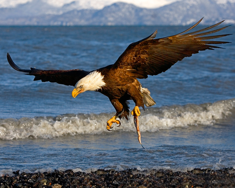 "This Bald Eagle photograph was captured in Homer, Alaska (3/06).   <FONT COLOR=""RED""><h5>This photograph is protected by the U.S. Copyright Laws and shall not to be downloaded or reproduced by any means without the formal written permission of Ken Conger Photography.</h5></FONT>"