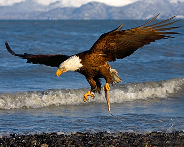 This Bald Eagle photograph was captured in Homer, Alaska (3/06).   This photograph is protected by the U.S. Copyright Laws and shall not to be downloaded or reproduced by any means without the formal written permission of Ken Conger Photography.