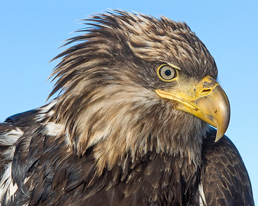 This immature Bald Eagle photograph was captured in Homer, Alaska (3/2008).   This photograph is protected by the U.S. Copyright Laws and shall not to be downloaded or reproduced by any means without the formal written permission of Ken Conger Photography.
