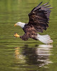 James River Eagle