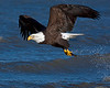 """This Bald Eagle photograph was captured in Homer, Alaska (3/06).   <FONT COLOR=""""RED""""><h5>This photograph is protected by the U.S. Copyright Laws and shall not to be downloaded or reproduced by any means without the formal written permission of Ken Conger Photography.<FONT COLOR=""""RED""""></h5>"""
