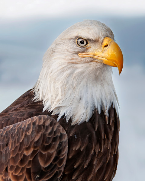 This Bald Eagle photograph was captured in Homer, Alaska (3/2008).   This photograph is protected by the U.S. Copyright Laws and shall not to be downloaded or reproduced by any means without the formal written permission of Ken Conger Photography.