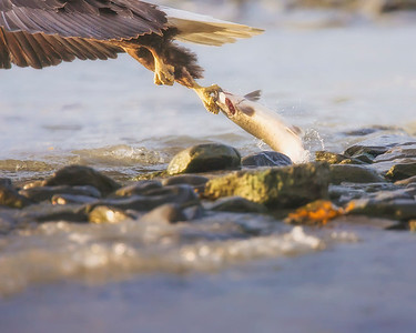 This photograph of a Bald Eagle snatching a salmon was captured in Valdez, Alaska (7/09).  This photograph is protected by the U.S. Copyright Laws and shall not to be downloaded or reproduced by any means without the formal written permission of Ken Conger Photography.