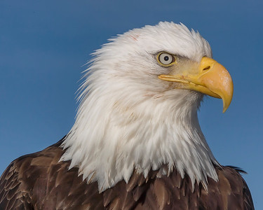 The face of absolute fearlessness.  This Bald Eagle photograph was captured in Homer, Alaska (3/2008).   This photograph is protected by the U.S. Copyright Laws and shall not to be downloaded or reproduced by any means without the formal written permission of Ken Conger Photography.