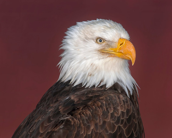 This Bald Eagle photograph was captured in Homer, Alaska (3/2008).  He was positioned on a post and I angled the camera when taking the shot so as to use a red roof from an adjacent building for the background.  So although the shot looks like the background was Photoshopped, in it was not, it is real.   This photograph is protected by the U.S. Copyright Laws and shall not to be downloaded or reproduced by any means without the formal written permission of Ken Conger Photography.