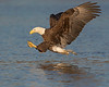 This photograph of a Bald Eagle was captured within the James River in Virginia (3/13).   This photograph is protected by the U.S. Copyright Laws and shall not to be downloaded or reproduced by any means without the formal written permission of Ken Conger Photography.