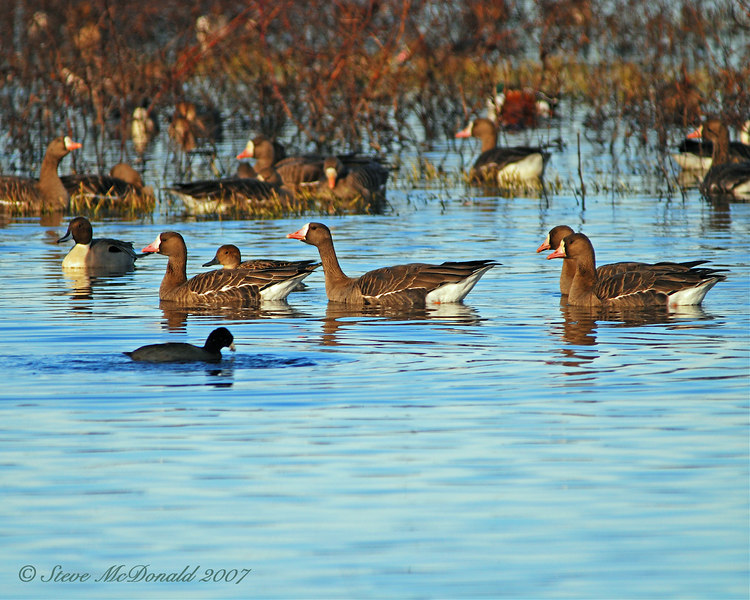 White Fronted Geese among Snow Geese