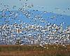 Grind of Snow Geese