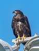 The young Bald Eagle is sitting on top light, which is located near its nest.