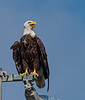 When I took the photo of the Bald Eagle, it was hot, so it was panting.