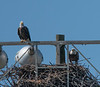 Both adult Bald Eagles are at their nest, keeping an on their young one.