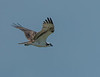 I captured the photo of this Osprey flying around where the young Bald Eagle was located.