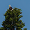 This adult Bald Eagle is on top of this tree, which is located North-East of their nest.