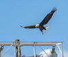 Bald Eagle coming for a landing.