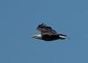 Bald Eagle in flight towards its nest