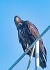 Eaglet posing for me
