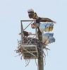 The Eaglet flying to the top of the nesting area