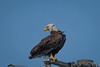 This Bald Eagle is just looking around her