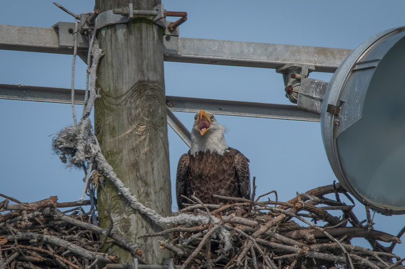 One of the Bald Eagles calling for its mate to come back and take care of the baby Bald Eagle