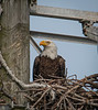 This Bald Eagle is looking for its mate