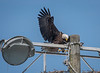 Here comes the other Bald Eagle landing at the nest