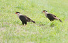 • North Canoe Creek Road<br /> • The pair Crested Caracara's searching for some food to eat