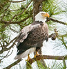 • Prairie Lake Road Eagle's Nest<br /> • She's sitting on branch on the right side of the nest