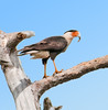 • North Canoe Creek Road<br /> • I still can't figure out what the Crested Caracara has in its beak