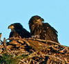The Eaglets on the look-out for their mom or dad.