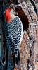 A male Red-bellied Woodpecker fixing up its nest.