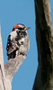 Downy Woodpecker checking out his surroundings