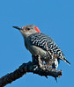 A cute little female Red-bellied Woodpecker just hanging out.