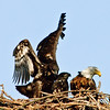 Both Eaglets with of of their parents