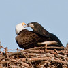 Bald Eagle and Eaglet - Listen-up, you need to eat more fish