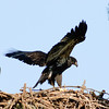 Eaglet - Just stretching my wings