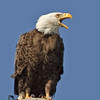 Bald Eagle - Listen up!
