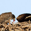 Eaglets - This fish taste pretty good