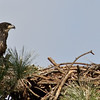 Eaglet -  This is a better view from this side of the nest