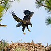 Eaglet -  Those wings really work